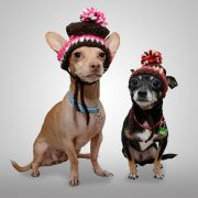 Chihuahuas wearing knitted hats.